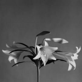 "Robert Mapplethorpe - ""Easter Lilies"" ,1979"