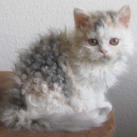Cat - The Selkirk Rex