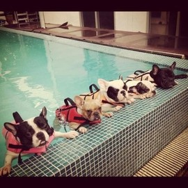 French Bulldog - Swimming school