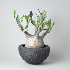 TOKY - Rock Heavy Pot L + Pachypodium gracilius[OrangeSkin]