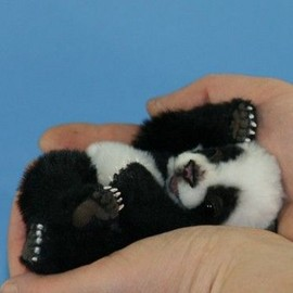 A Tiny Palm- Sized Baby Panda