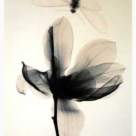 Judith K McMillan - Magnolia and Moth 2, 2002 X-Ray Art