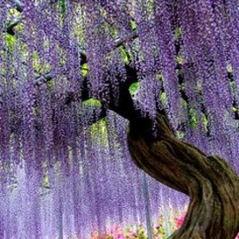 Japan - PURPLE: Ashikaga Flower Park