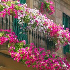 petunias - flower and balcony