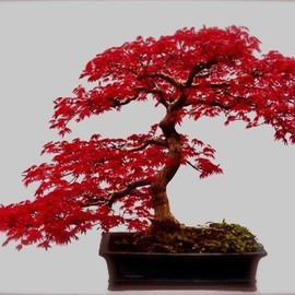 BONSAI - Maple