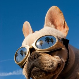 French Bulldog - summer dog in shades