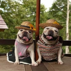 French Bulldog - Haha #animals #puppies