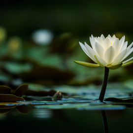 lilla My - Water Lily