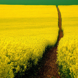 Path through a field of yellow flowers