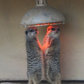 Meerkats feeling the warmth