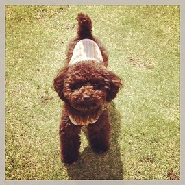 dog - toy poodle(brown)