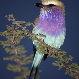 Bird - ~~ Lilac-breasted Roller ~~