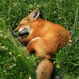 :) Sleeping Fox