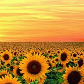 Sunset in Sunflower field