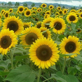 North American continent - 向日葵 Helianthus annuus