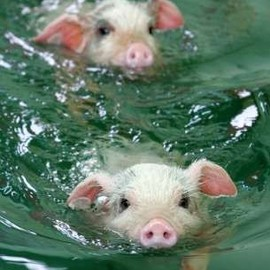 Pigs - pigs swimming