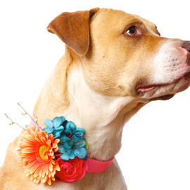 CUSTOM Floral Canine Wedding Corsage for Dogs (shown with tangerine Gerber Daisy, turquoise blue Hydrangeas and pink Ranunculus)