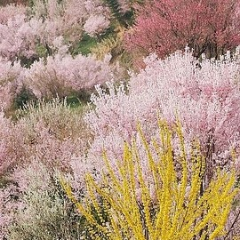 Japan - Full bloom in Hanamiyama