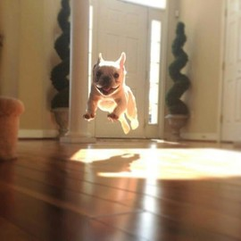 French Bulldog - Happy Puppy!