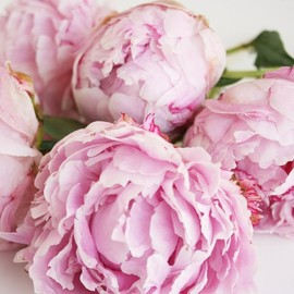 Peonies - One of the reasons I love May is for the Peonies
