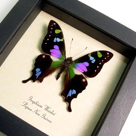 Graphium weiskei the purple spotted swallowtail butterfly from Papua New Guinea graphium weiskei in an archival conservation display