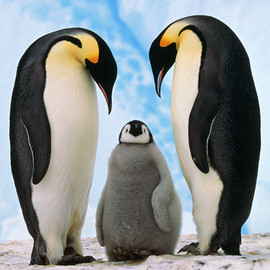 Emperor Penguin - Family