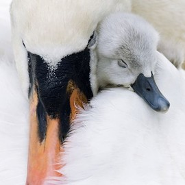 n - sweetanimalsftw:Swan and Cygnet