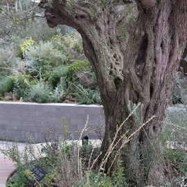 200years old Olive tree.