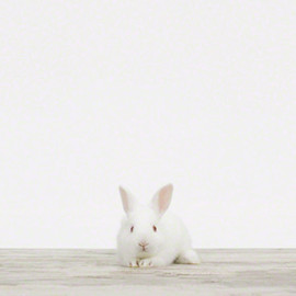 Rabbit - White rabbit