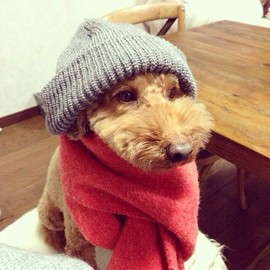 toy poodle - family