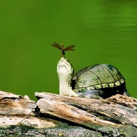 Turtle With Dragonfly