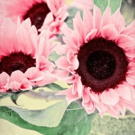 pink sunflowers