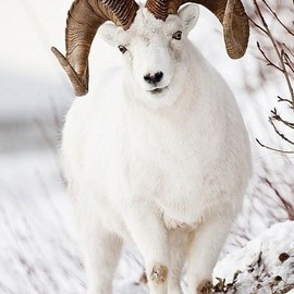 Full-Curl Dall Sheep