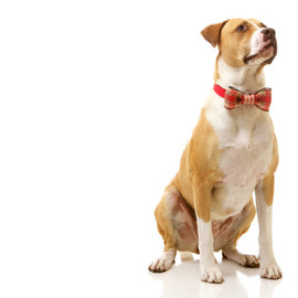 Etsy - Dog Bow Tie: MED/LRG Winter Formal Bow / Collar Corsage for Dogs - Wired Bow in Red & Cream