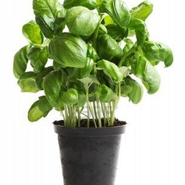 Fresh Basil Plant, Season is Starting Again