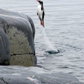 Penguin Coming Ashore