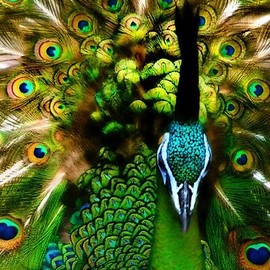 bird - peacock green