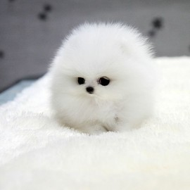 Dog - White Teacup Pomeranian fluff ball