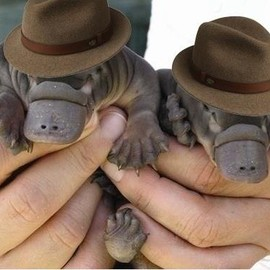 Peter Vidani - It is Friday, so here is a photo of two baby platypuses wearing fedoras.