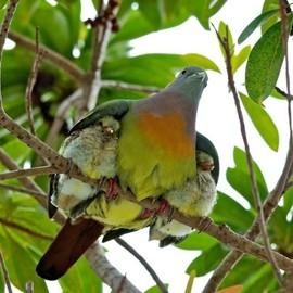 Chicks are covered by parent bird's wings.