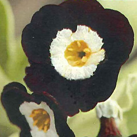 CoppiceGARDEN(コピスガーデン) - Primula auricula Wincha