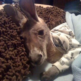 ANIMAL - A baby kangaroo in pajamas….