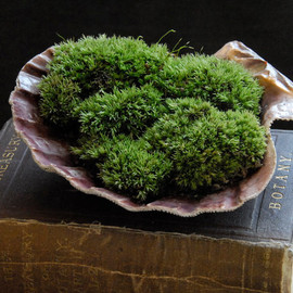 Luulla - Scallop Shell Moss Planter, Red Lion's Paw, Large