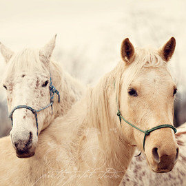 PrettyPetalStudio - Fine Art Photograph, Two White Horses in a Field, Equestrian Photograph, Horse Lovers, Winter Art, Love, 11x14 Photo