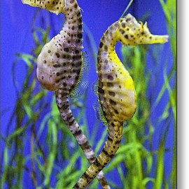 Fine Art America - Seahorse Argument Metal Print By Fred J Lord