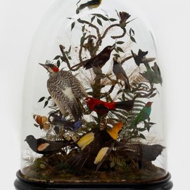 Top Hat Taxidermy - South American Birds