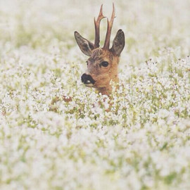Deer in Flowers