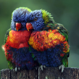 Birds | Rainbow Lorikeets