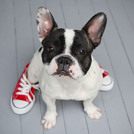 French Bulldog - French Bulldog