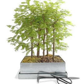 BAMBECO - redwood forest bonsai kit
